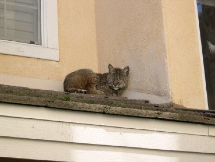Melvin the bobcat was found napping on a roof in the Canyon Ridge community.  Photo courtesy of Ann Van Leer