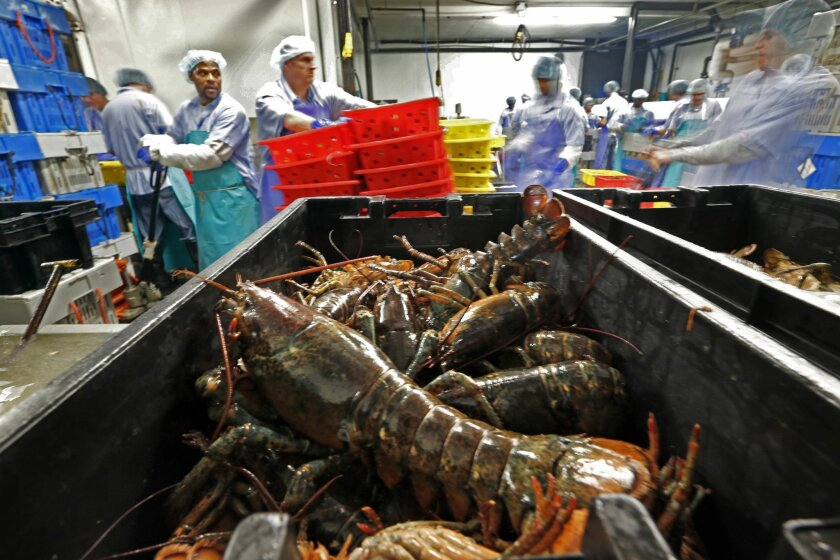 FILE - In this June 20, 2014, file photo, lobsters are processed at the Sea Hag Seafood plant in Tenants Harbor, Maine. America's lobster industry is sending less of its catch to Canada as processing grows in New England, and the growth could have widespread ramifications for consumers who are dema