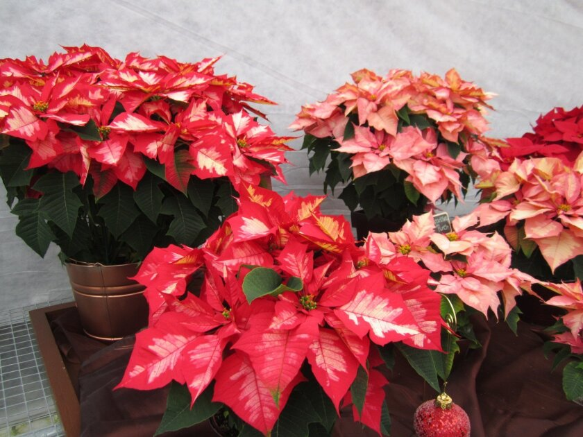 Evelyn Weidner offers more  tips for your poinettias.