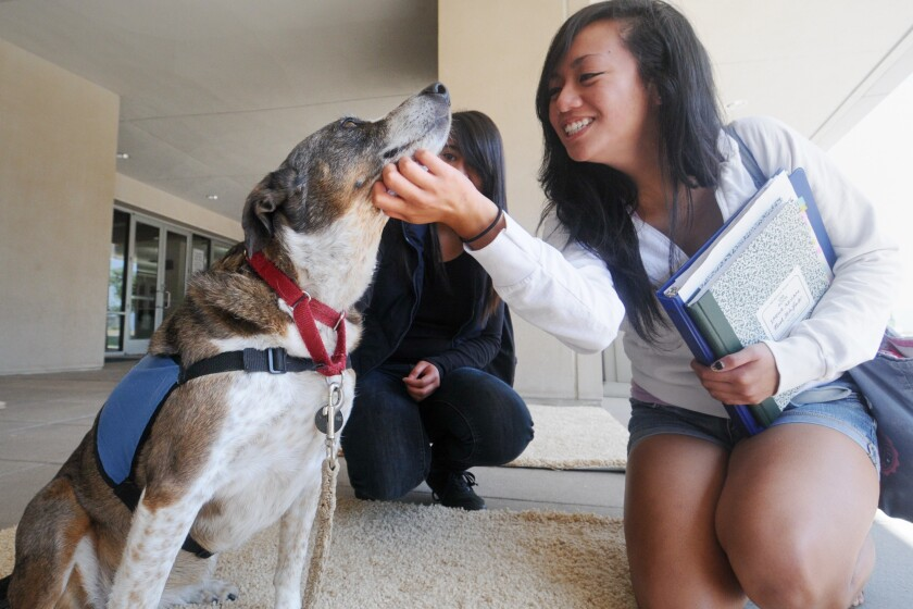 Therapy dogs like the one shown here at Cal State San Marcos will come to the Lemon Grove library.