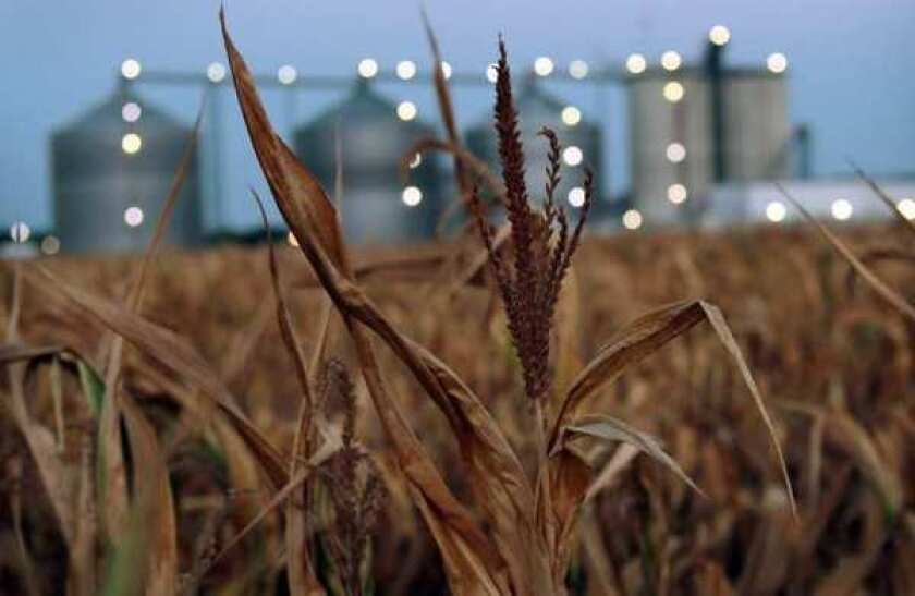 A field of dead corn sits next to the Lincolnland Agri-Energy ethanol plant in Palestine, Ill. This summer's extended drought has scorched corn and soybean crops across the Midwest.