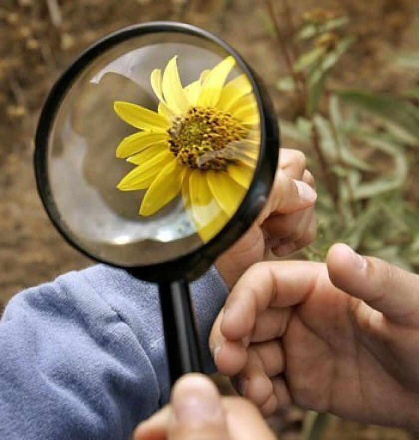 Hikers carefully examined a sunflower in the Sycamore Canyon Preserve.  (Howard Lipin / Union-Tribune)