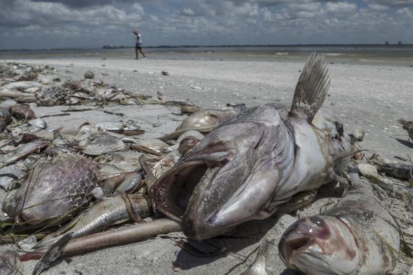 """El alga tóxica conocida como marea roja persiste en """"altas concentraciones"""" en las costas de tres condados de Florida y en ocho se han reportado en la última semana mortandad de peces, informó hoy la Comisión para la Conservación de la Pesca y la Fauna (FWC). EFE/ARCHIVO"""