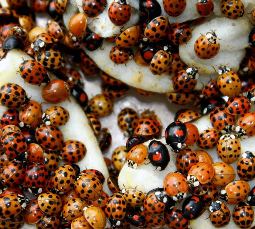 Harlequin ladybird can be a pest in disguise