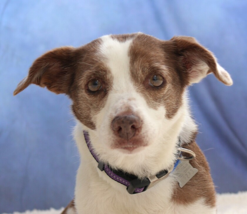 Pet of the week is Chipara, an 8-year old terrier mix.