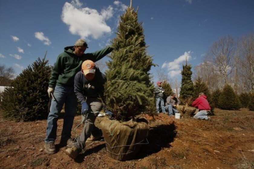 H2-A guest workers from Mexico at a North Carolina Christmas tree farm.