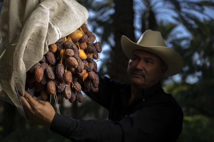 Alvaro Bautista, in a cowboy hat, harvests dates at the Bautista Family Organic Date Ranch.