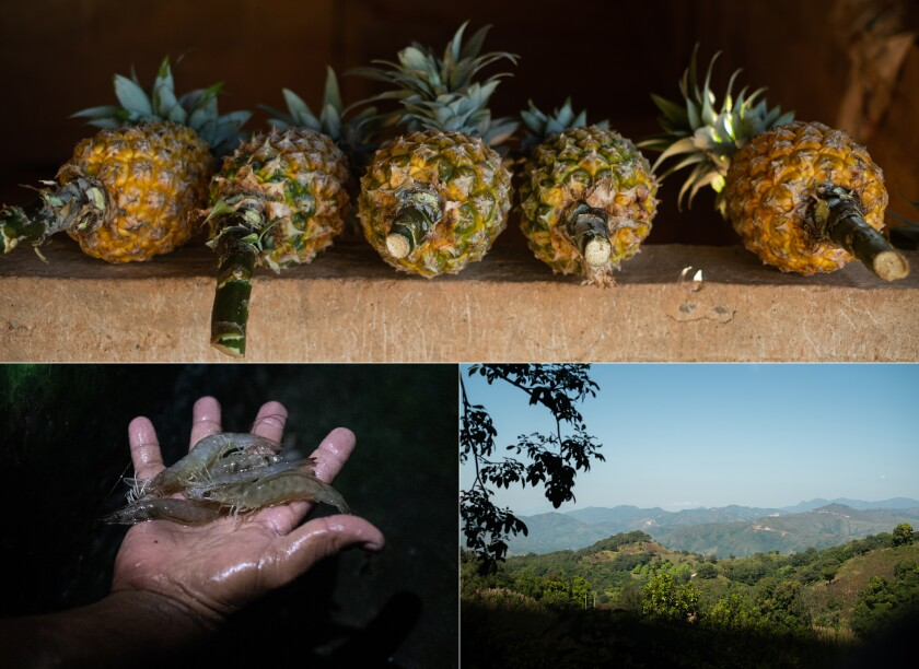 Pineapples; Guerrero's mountain range; lagoon shrimp