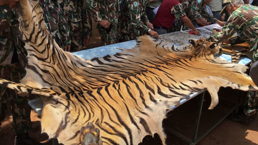 Thai national parks and wildlife officers examine the skin of a tiger at Tiger Temple in Kanchanabur