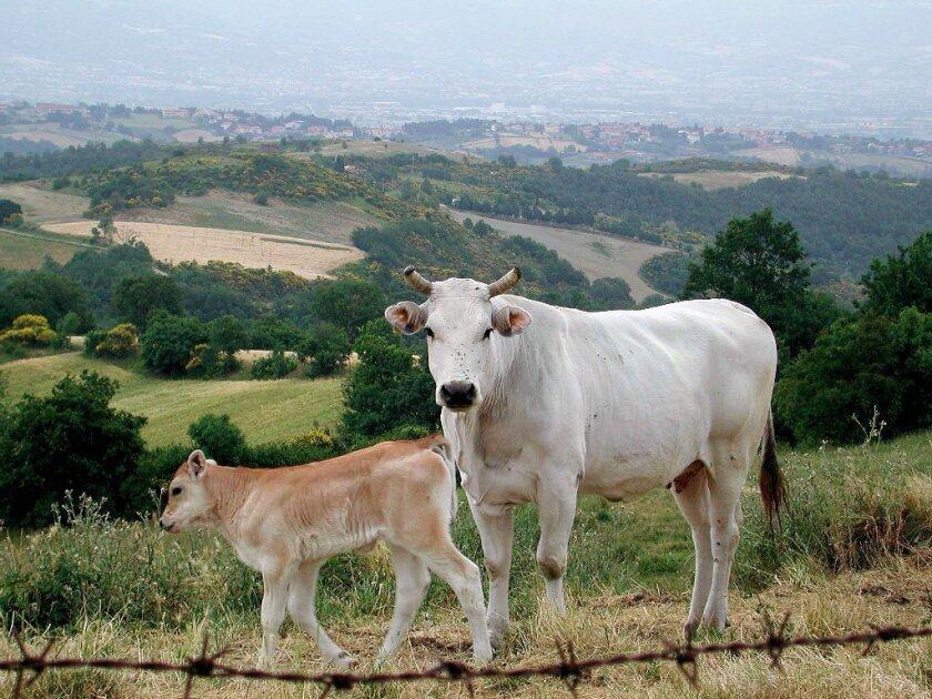 Chianina steakhouse will raise its own domestic Chianina cows, such as these in Tuscany.