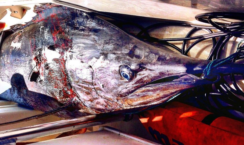 Blue Marlin caught with a speargun by Joel Smith, said to weigh in at 413 lbs. Photo courtesy Joel Smith