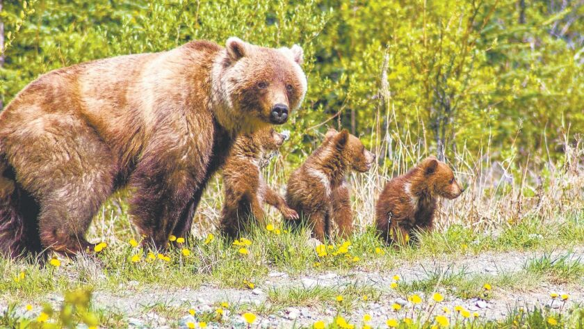 Mama grizzly with three cubs near the Alaskan border.