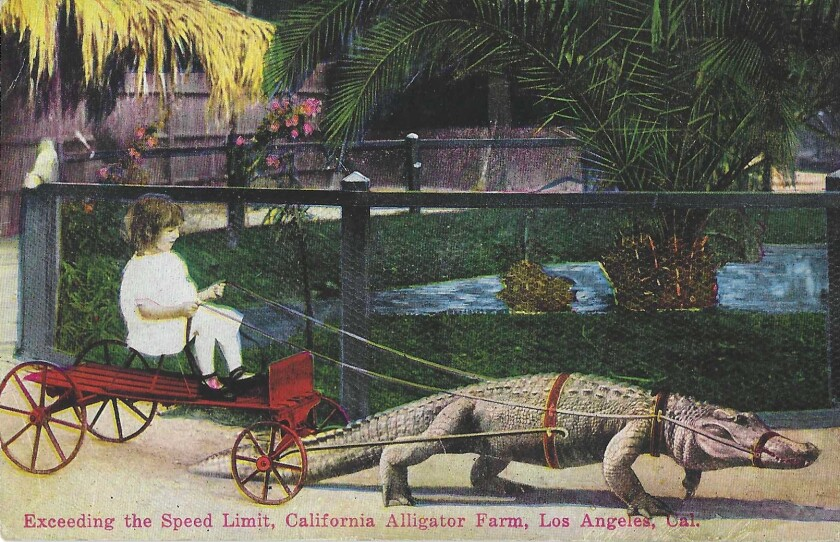 """Postcard shows alligator pulling a girl on a cart. """"Exceeding the Speed Limit, California Alligator Farm, Los Angeles, Cal."""""""