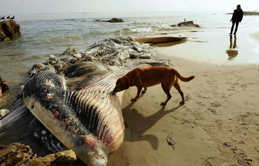 A dog sniffs at a decomposing whale on Little Dume beach in Malibu. The 40-foot-long creature washed up Monday, and efforts to remove it were hampered by jurisdictional and logistical issues.