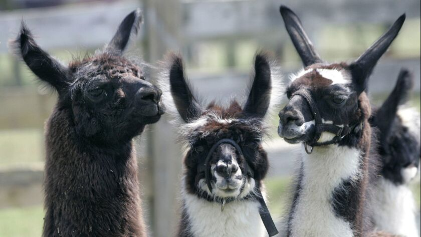 ** ADVANCE FOR MONDAY, AUG. 28 ** A group of llamas look around on Dirk Milz's Edelweiss Farm Wednes