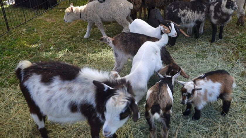 Baby Shetland sheep and Nigerian Dwarf goats were part of the America's Family Pet Expo held Friday