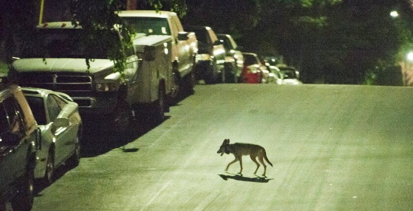 A coyote scampers across the street near downtown Los Angeles.