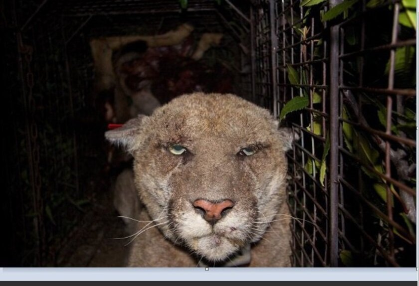 This photo of P22 was taken in March, 2014 when the mountain lion was captured by National Park Service biologists.
