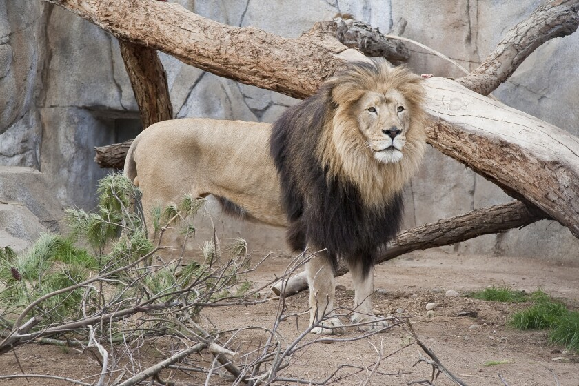 M'bari the lion at the San Diego Zoo.