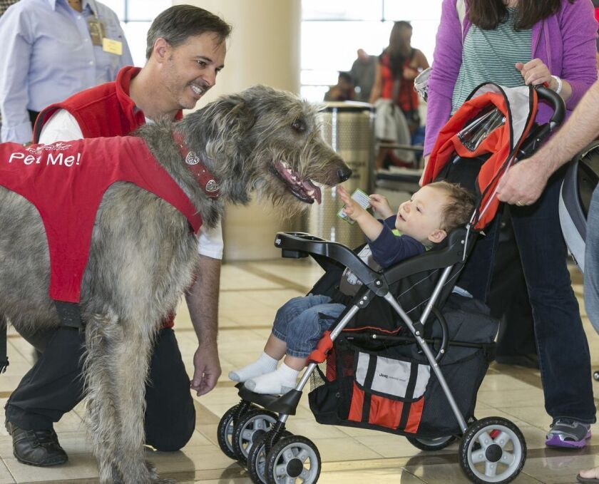 Finn, a tall Irish wolfhound, is one of the largest dogs in the PUPs program at LAX. Owner Brian Valente, left.