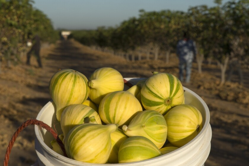 Freshly harvested Panachée figs grown by Kevin Herman of the Specialty Crop Co. in Madera.
