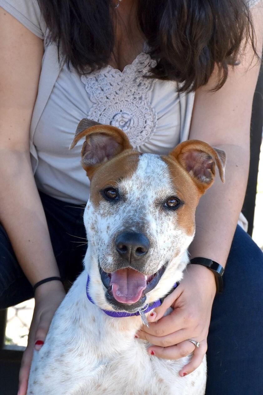A hound-Australian cattle dog and heeler blend is pet of the week.