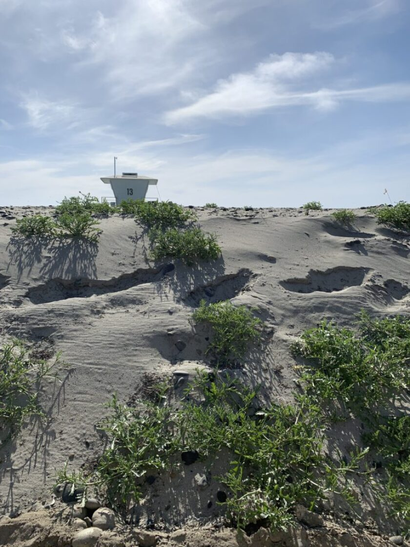 The Nature Collective will continue monitoring the endangered plants at the Living Shoreline at Cardiff State Beach.