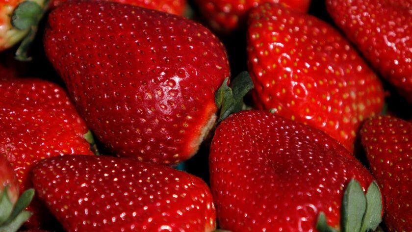 WATSONVILLE, CA - APRIL 7, 2014: Fresh strawberries in a UC Davis strawberry field in Watsonville, C
