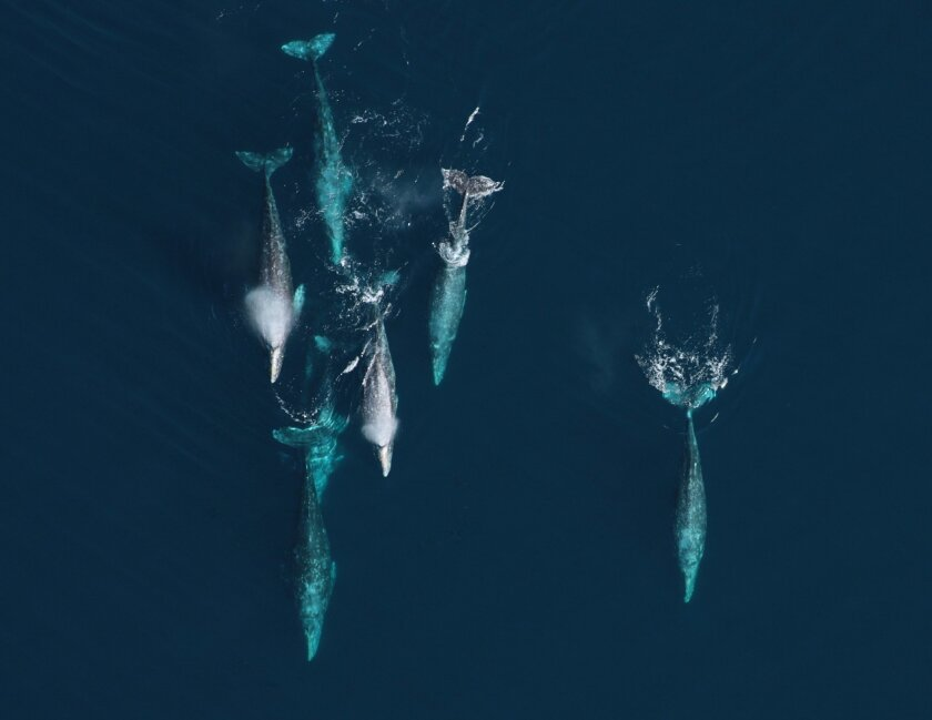 A group of migrating, adult whales, on their way to the party. By Wayne Perryman, cetacean health and life history program director for the National Oceanic and Atmospheric Administration's Southwest Fisheries Science Center.