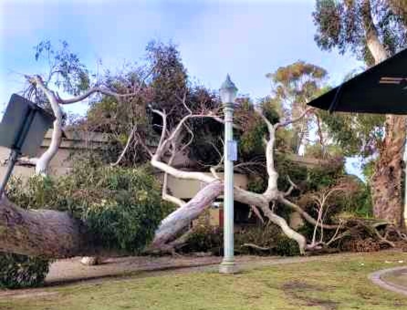 eucalyptus tree on Starlight and second tree to right.jpg