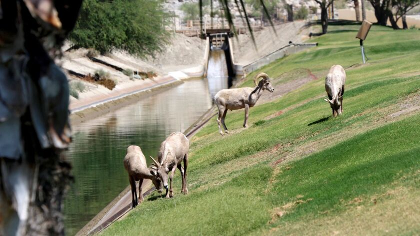 Federally endangered Peninsular bighorn rams, ewes and lambs gather near the Coachella Canal on the PGA West golf course in La Quinta.