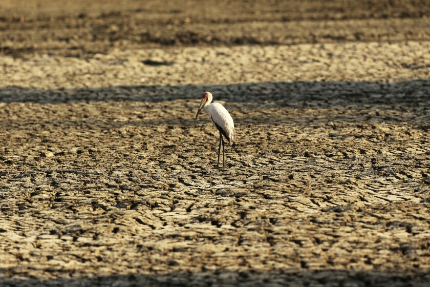 """In this Oct, 27, 2019, photo, a bird stands on a sun-baked pool that used to be a perennial water supply in Mana Pools National Park, Zimbabwe. Elephants, zebras, hippos, impalas, buffaloes and many other wildlife are stressed by lack of food and water in the park, whose very name comes from the four pools of water normally filled by the flooding Zambezi River each rainy season, and where wildlife traditionally drink. The word """"mana"""" means four in the Shona language. (AP Photo/Tsvangirayi Mukwazhi)"""