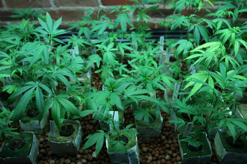 The crop at One on One dispensary in downtown San Diego's Gaslamp Quarter.