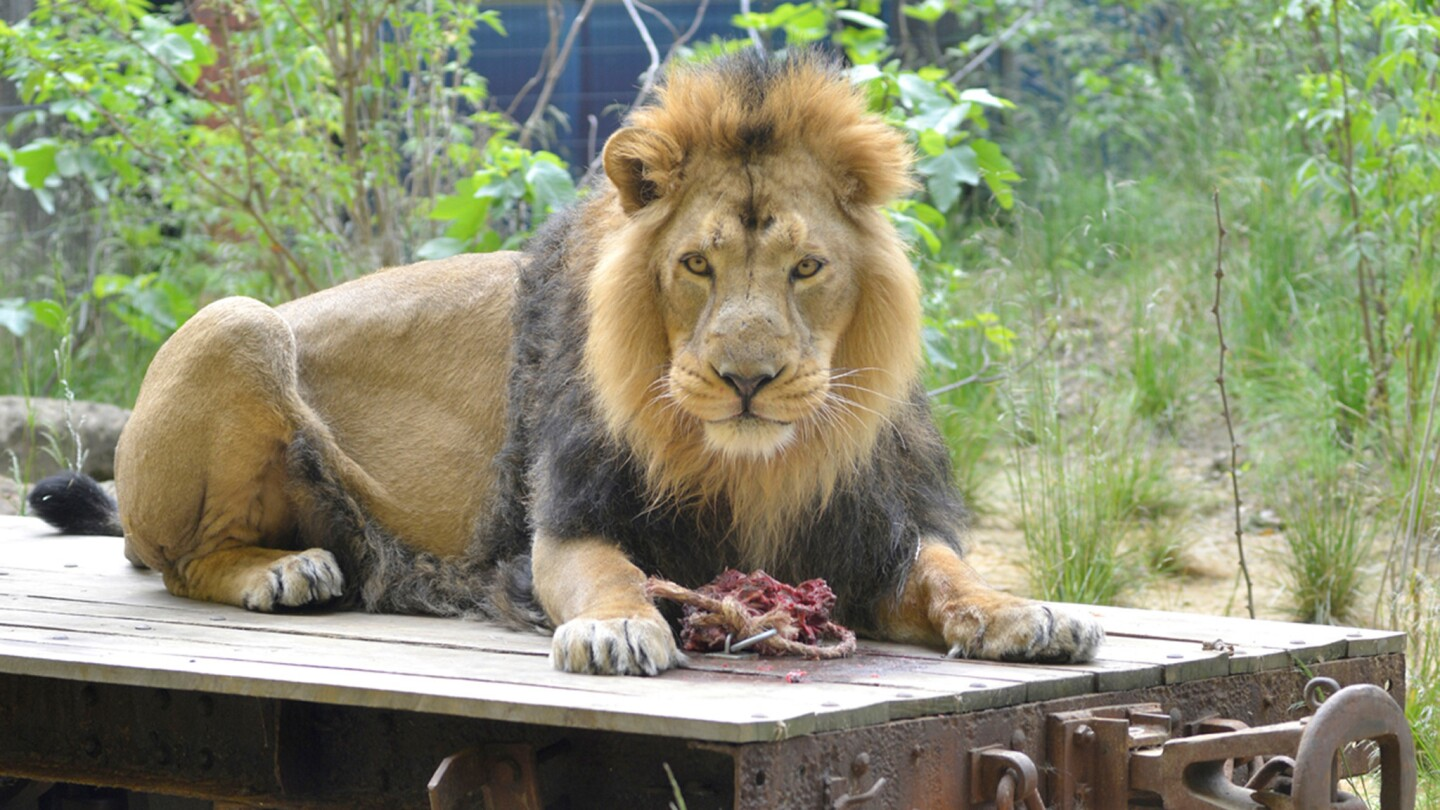 An Asiatic lion named Bhanu at the ZSL London Zoo, where visitors can stay overnight at the Gir Lion Lodge.