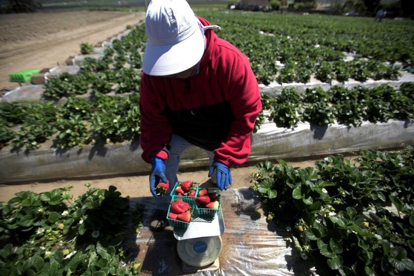 Olivia Alanis weighs strawberries in a Watsonville, Calif., field in 2014.