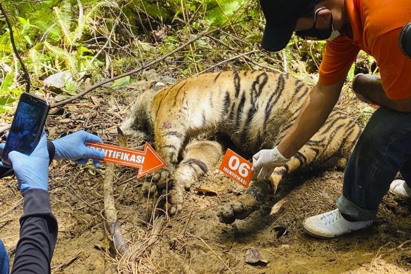 Investigators examining carcass of a Sumatran tiger