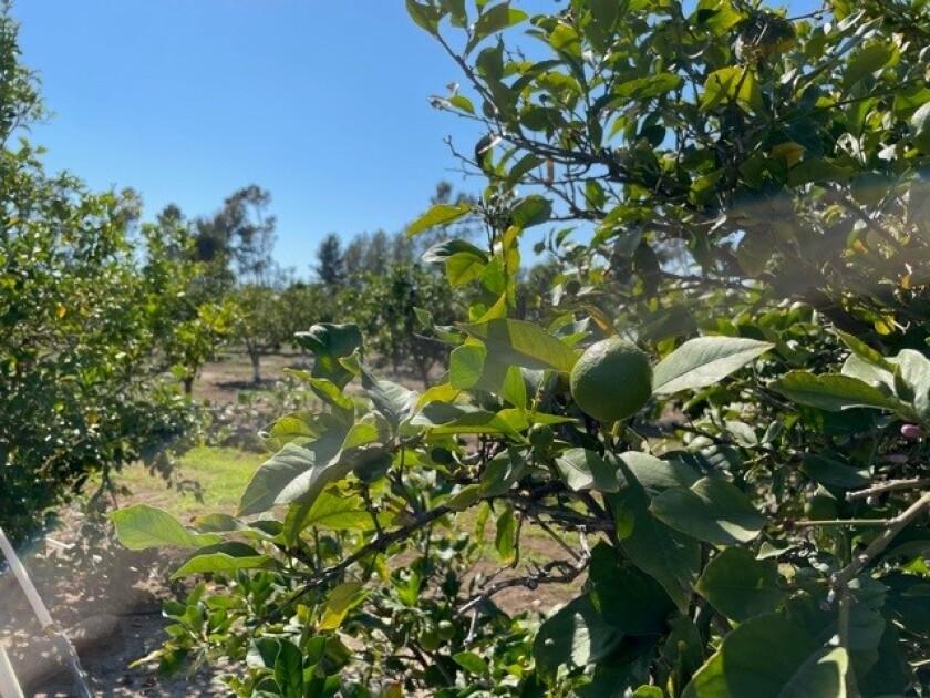 A citrus grove in Rancho Santa Fe.
