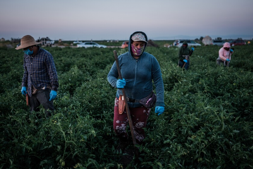 Farmworkers weed a tomato field in French Camp, California.