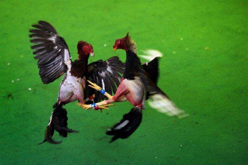 El representante del Partido Nuevo Progresista (PNP), Urayoán Hernández, ha sometido un proyecto para ordenar a la Compañía de Turismo de Puerto Rico promocionar la celebración de las peleas de gallo como parte de su oferta turística que genera 30.000 puestos de trabajo directos en la isla. EFE/ARCHIVO