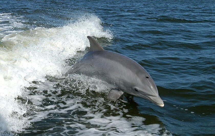 File photo of bottlenose dolphin.