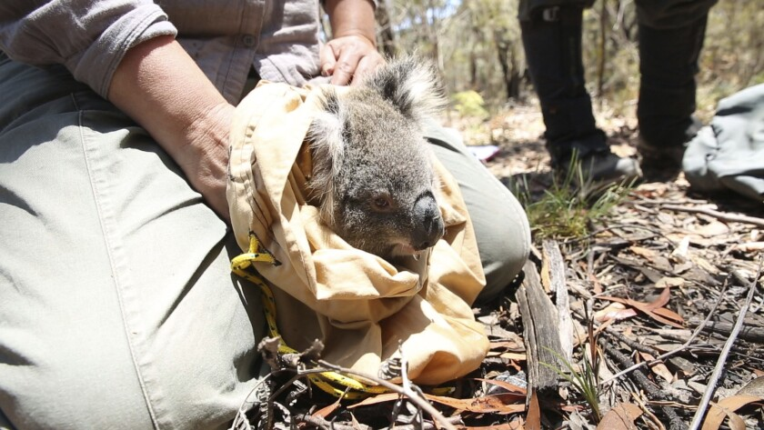 Volunteers went into the Blue Mountains to save koalas before the flames arrived.