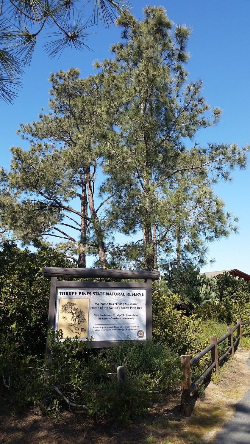 Trees at Torrey Pines State Natural Reserve. The reserve remains closed during the pandemic.