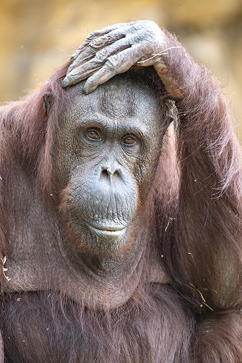 This photo provided by Zoo Miami shows orangutan Kumang. Kumang, a 44-year-old Bornean orangutan, died Thursday, Sept. 23, 2021, during recovery from anesthesia. (Ron Magill/Zoo Miami via AP)