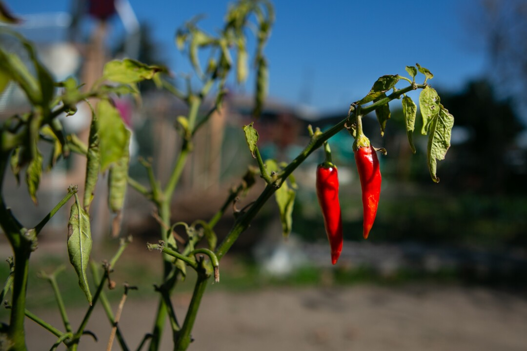 Peppers grown at La Madera Community Garden.