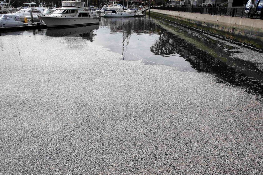 Thousands of dead fish wash up along boat slips at the Marina Del Rey, Calif. on Monday, May 19, 2014. The Los Angeles County Sheriff's office said the dead anchovies, stingrays and even an octopus rose to the surface at a section of the harbor Saturday evening. Marine biologists believe a lack of