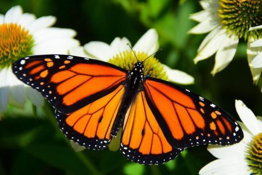 The western North American population of monarchs often migrates to sites in southern California, but has been found wintering in Mexican sites as well.
