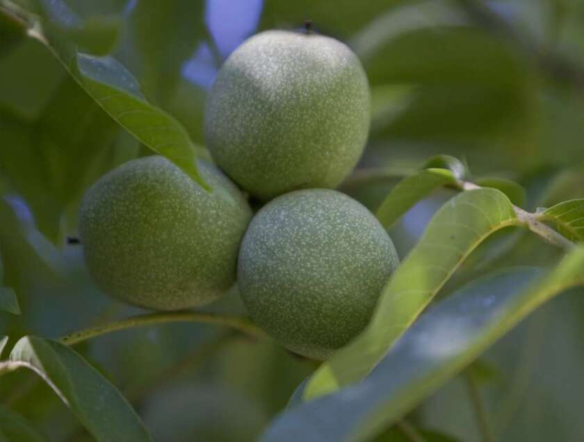Walnuts are California's fourth leading agricultural export, thanks to emerging markets such as China. At the same time, the state supplies almost all the walnuts consumed in the United States today.