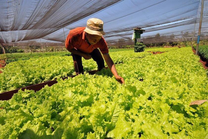 Las autoridades sanitarias pidieron hoy a la población que se abstenga de comer cualquier tipo de lechuga romana que haya sido cultivada en el suroeste de Arizona, debido a un brote de E. coli que ya ha afectado a 53 personas en 16 estados. EFE/ARCHIVO