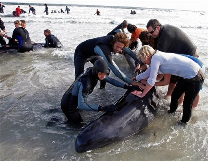 People seen as they attempt to save a whale, on the beach, in Kommitjie, South Africa, Saturday, May 30, 2009. Dozens of false killer whales beached Saturday morning near the storm-lashed tip of South Africa, prompting a massive rescue operation. (AP Photo/Schalk van Zuydam)