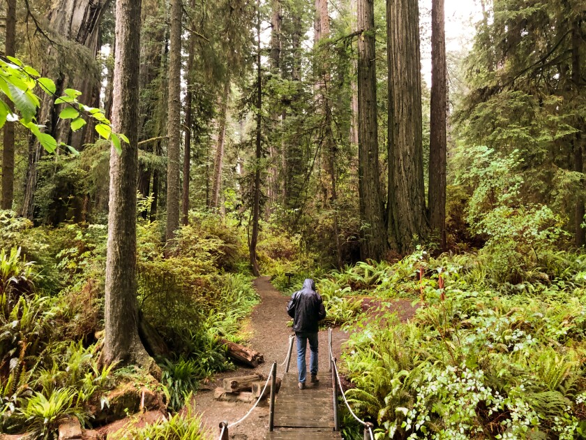 Man walking through a forest of tall redwood trees.
